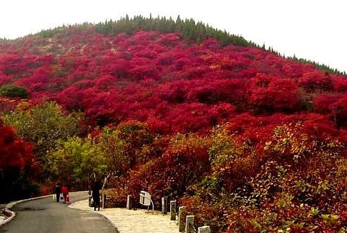旅游景点 山东 济南 > 红叶风景区   红叶风景区美图